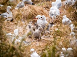 Red billed gulls